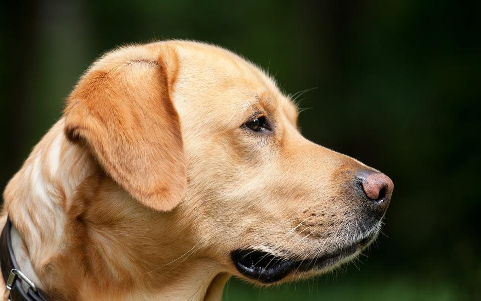 Combien vous coûtera réellement l'adoption d'un chien?